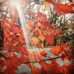 Sunbeams through deep orange and red leaves on dark tree branches.