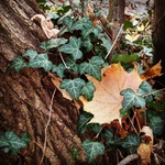 An orange maple leaf caught in ivy on a tree trunk.