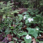 Trilliums and ground cover plants in the woods.