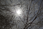 Sun through Frozen Branches