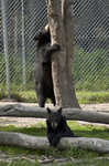 Young Bears at Oswald Bear Ranch
