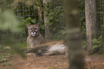Cougar at Garland Zoo